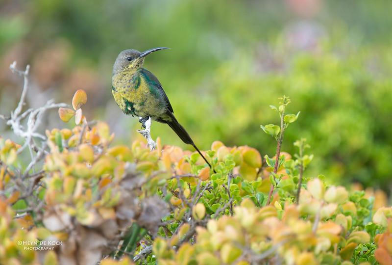 Malachite Sunbird, D'Agulas NP, WC, SA, Jan 2014.jpg