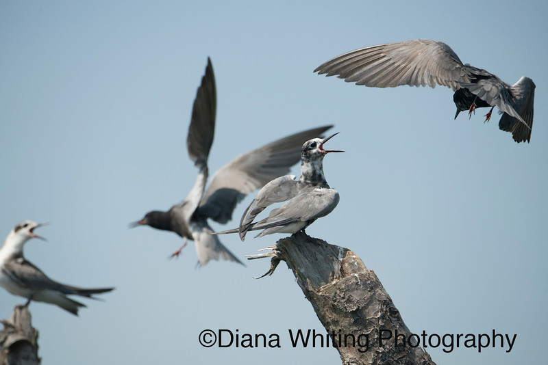 Black Terns Ethically Photographed in Their Natural Habitat  Featuring Behavior and Beauty in a Creative and Artistic  Vision