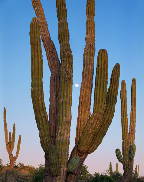 Vizcaino Desert, Baja Sur, MEX/Moonrise as sunset light illuminates giant cardon cactus (Pachycereus pringlei). 393v4                          UP>