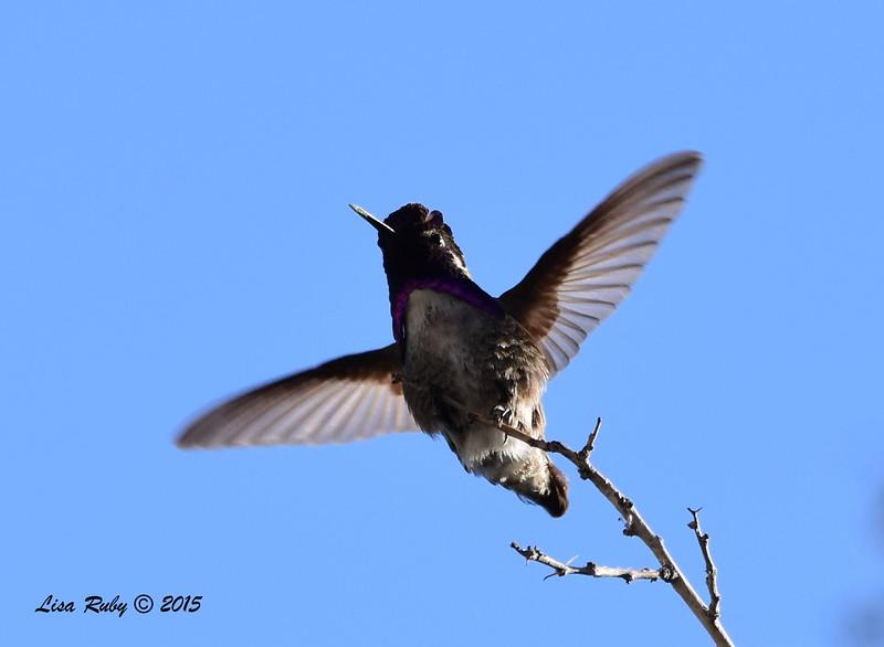 Costa's Hummingbird - 4/5/2015 - Moonlight Trail, Agua Caliente