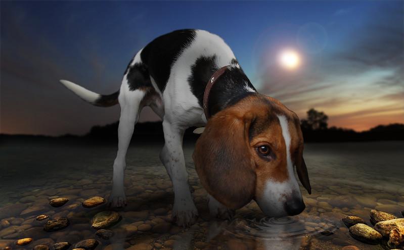 beagle77.jpg