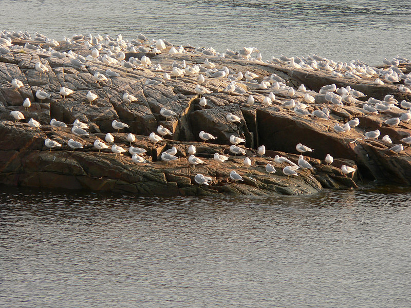 Flock of Birds in Quebec.