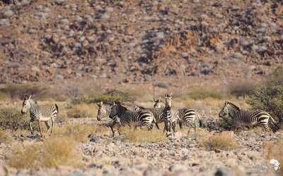 Mountain Zebras