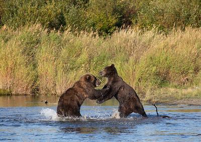 Alaska Coastal Brown Bears