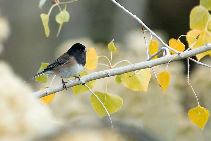 Junco - Dark-eyed (Oregon Subspecies) - Santa Fe, NM