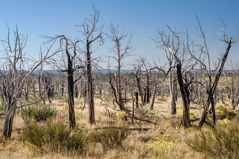 Life Regenerating after a forest fire in Mesa Verde National Park