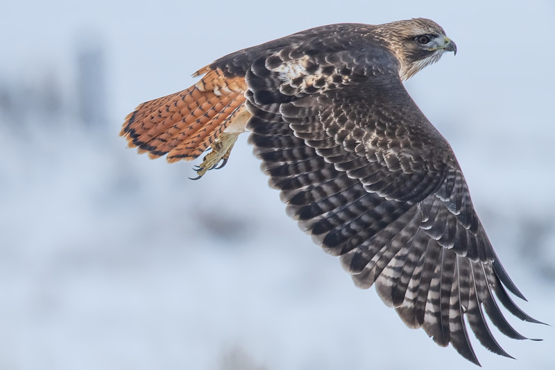 Re-tailed Hawk
