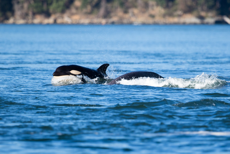 Orcas -  073115-418.jpg