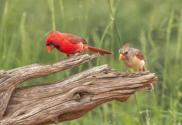 Cardinal couple 2 LS_DWL5899.jpg