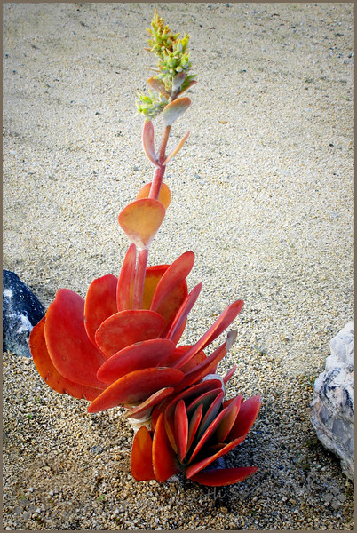 Succulent in Bloom - Judith Sparhawk
