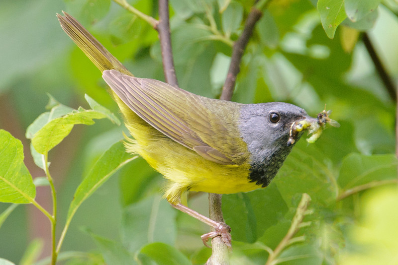 Warbler - Mourning - male - Forest Road 158 - Cook County, MN
