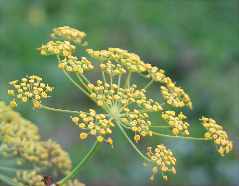 Fennel - Flower.JPG