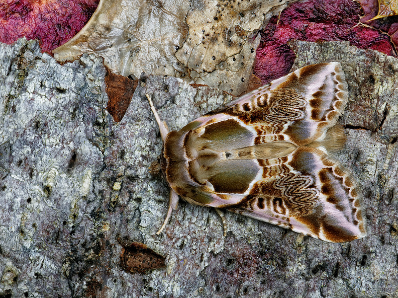 The Scribe Moth