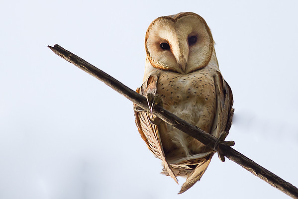 Barn Owls - Tytonidae