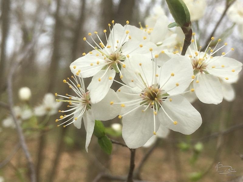 first white bloom in this woods is apple