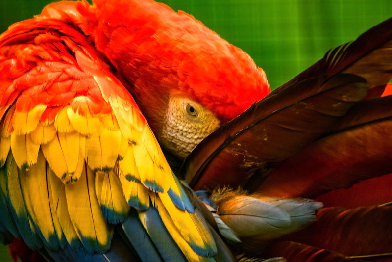 Bashful Parrot