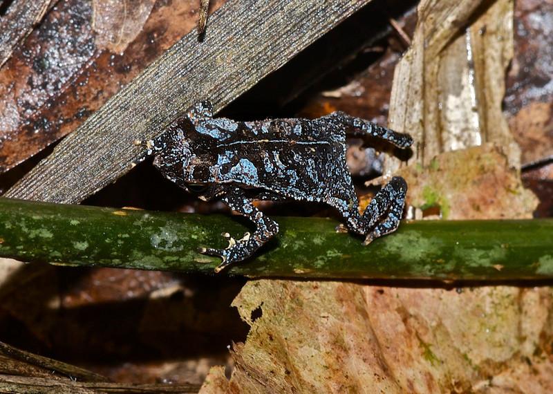 Sharp-Nosed Toad (Bufo dapsilis)