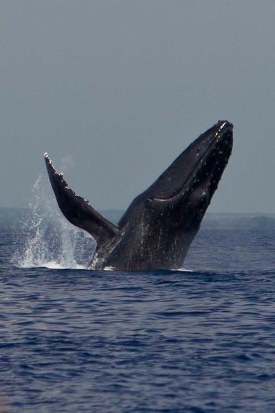 Maui 2011 Whales