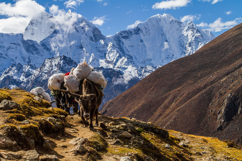 Dzokyos carry supplies to Everest Basecamp in the Solukhumbu region of Nepal's Himalayas.