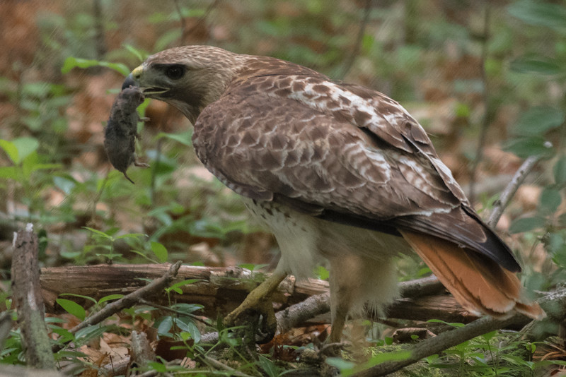 19-Sept North America Birds-1267.JPG