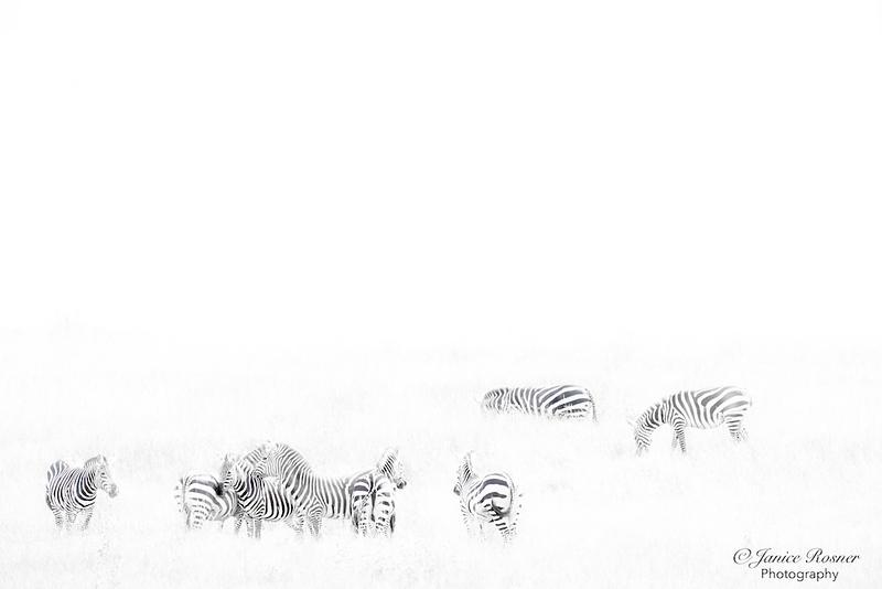 Zebra Grazing II