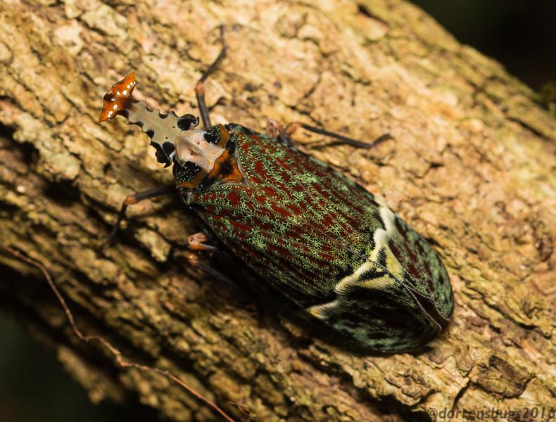 Ornate Lanternfly, Phrictus quinquepartitus, from Belize.