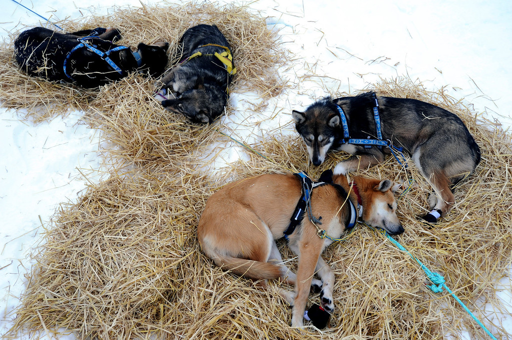 . Brownie, foreground, a sled dog in Mike Surenant\'s team, rests at the Finger Lake checkpoint in Alaska during the Iditarod Trail Sled Dog Race on Monday, March 4, 2013. (AP Photo/The Anchorage Daily News, Bill Roth)