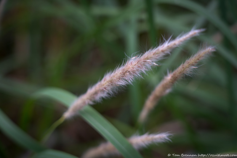 Mystery grass 1 (Imperata cylindrica/Blady Grass)?