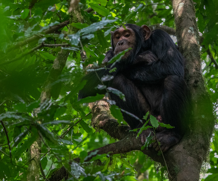 Uganda_T_Chimps-1545.jpg