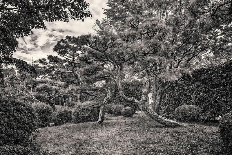 Kyoto Pines #1