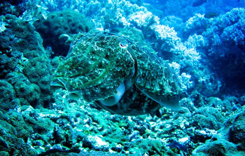 Large Cuttle Fish