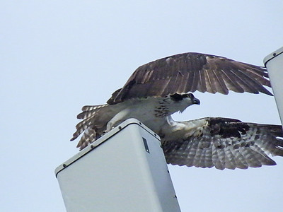 Mapes Creek Osprey Nest