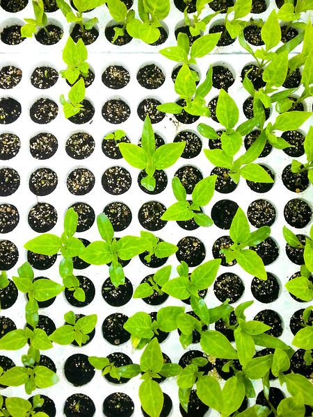 calemone plants 3.jpg