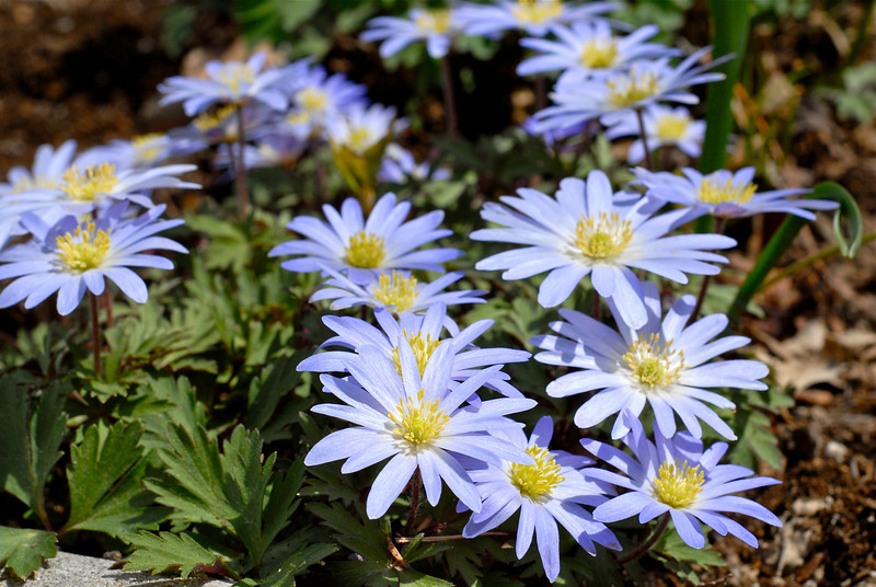 2011/4/18 – These are my favorite flowers in the back yard. They have spread out more and more over the years like a nice ground cover. Unfortunately they are spring flowers and don't last long. But I love seeing them because I know spring is here and summer is just around the corner.