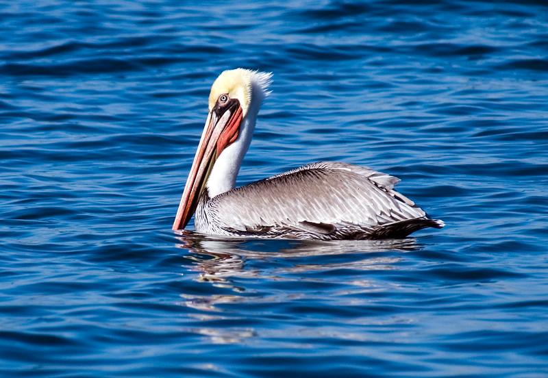 Pelicans-22.jpg