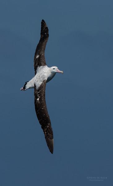 Antipodean Albatross, Wollongong Pelagic, NSW, Aus, Oct 2014.jpg
