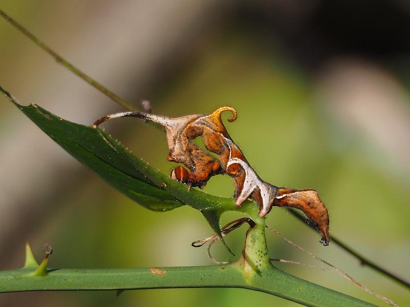 Curve-line Owlet Moth caterpillar (Hodges #: 8525)