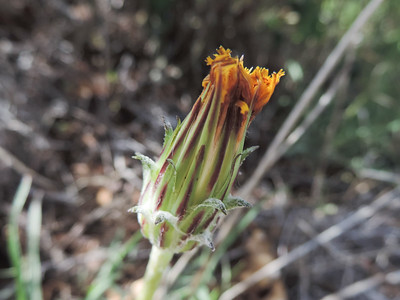 Spear-leaf Mountain-dandelion (Agoseris retrorsa)