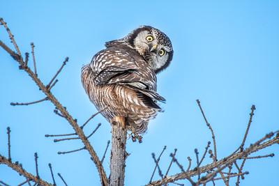 Owl-Northern Hawk Owls