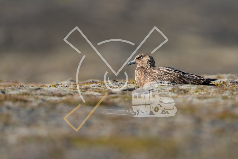 Great Skua nesting on land at Iceland