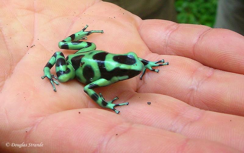 Sarapiqui: Poison Dart Frog