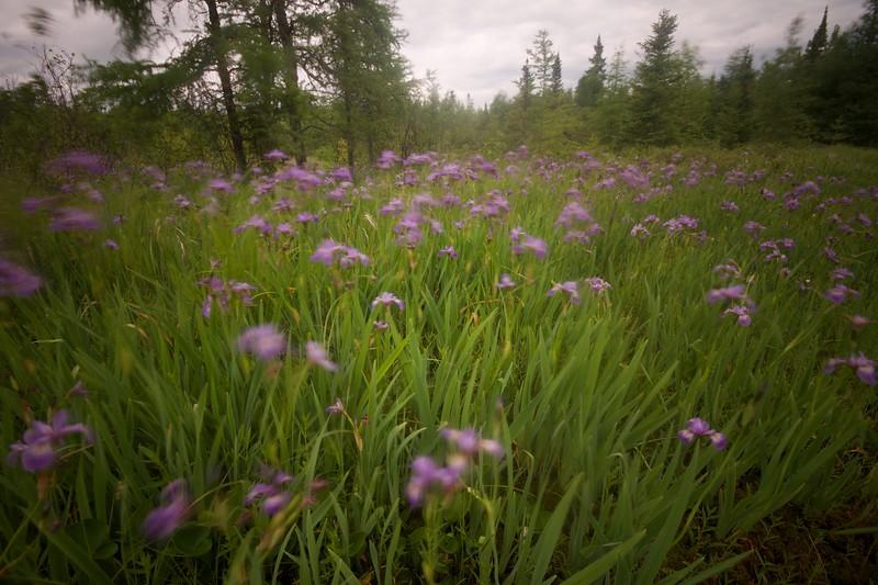 Iris versicolor Wild Iris Lake Nichols Road Sax-Zim Bog MN IMG_0062.jpg