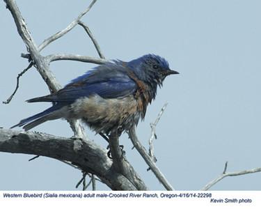 Western Bluebird M22298.jpg