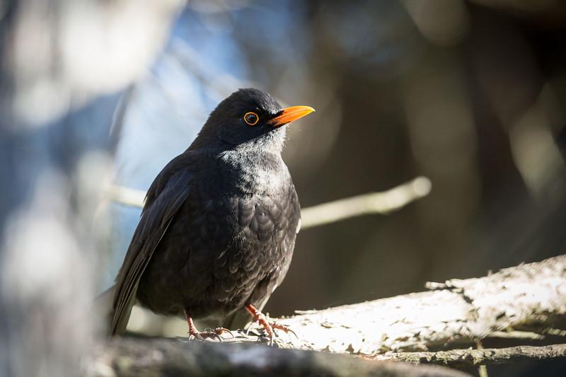 Blackbird at Orokonui Ecosanctuary