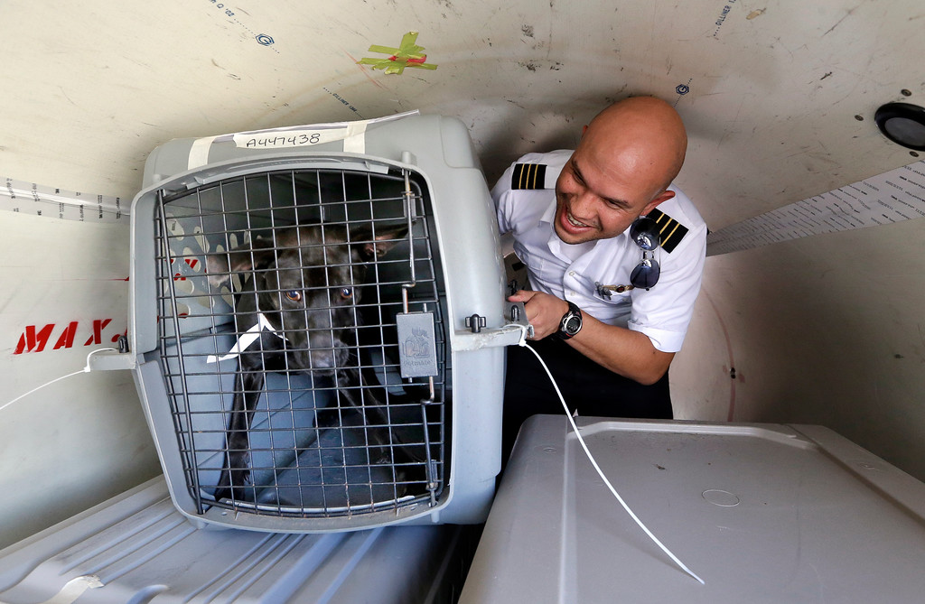 . Wings of Rescue co-pilot Jose G. Martinez reaches for one of the last of of a load of 35 dogs from Texas shelters flown to make space for companion animals rescued in the Hurricane Harvey aftermath, Wednesday, Aug. 30, 2017, in Seattle. The dogs arriving in Seattle were already in Texas shelters when Harvey hit and are being transferred to Seattle-area shelters so animals displaced from the flooding can be cared for in Texas until they can be reunited with their families there. The rescue transfer is a collaboration between Humane Society of the United States, Wings of Rescue, the Progressive Animal Welfare Society (PAWS) and other Seattle-area shelters. (AP Photo/Elaine Thompson)