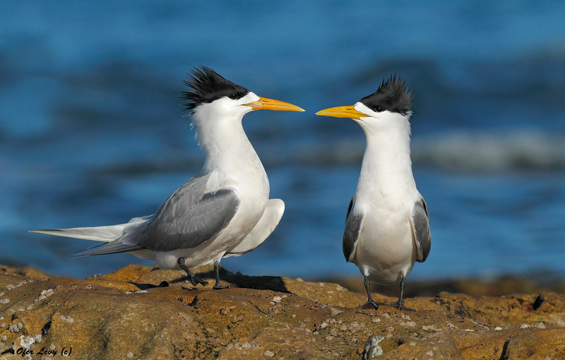 Crested Terns Pair 2.jpg