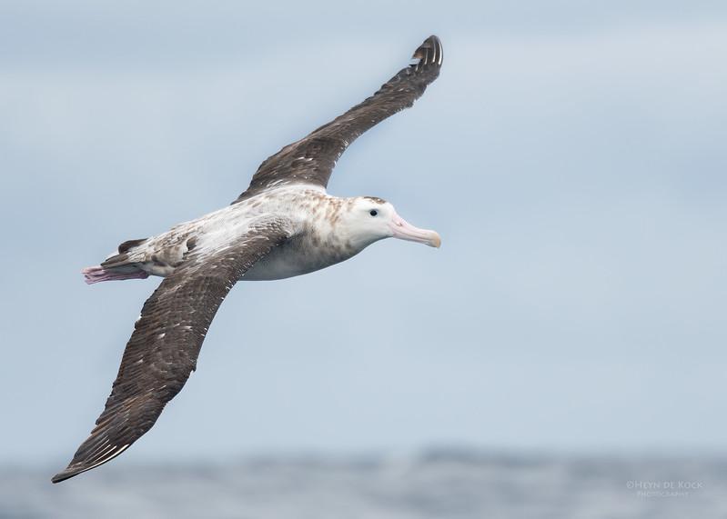 Antipodean Albatross, Eaglehawk Neck Pelagic, TAS, Sept 2016-3.jpg
