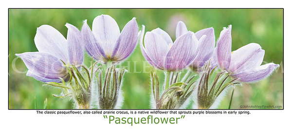 """Pasqueflower"" post card"