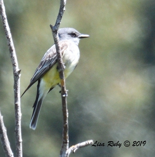 Kingbird (Western or Cassin's, but tail has me confused)  - 5/12/2019 - Sabre Springs South Creek trail