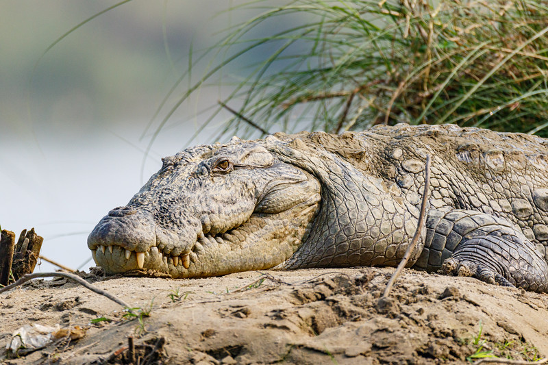 Close-up view of a Mugger Crocodile in Nepal's Chitwan National Park on the Rapati River in Southern Nepal